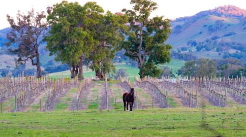 vineyard7_lg